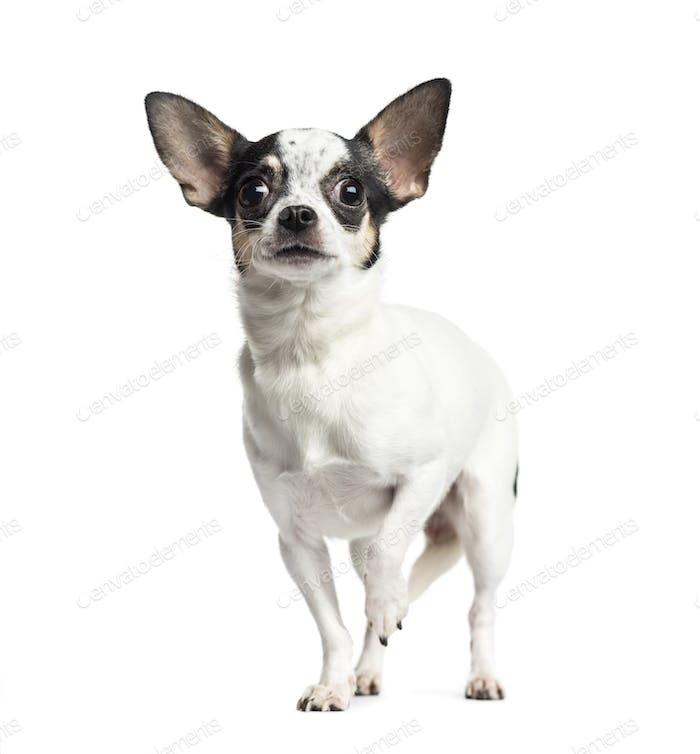 Chihuahua standing and looking up, 1 year old, isolated on white