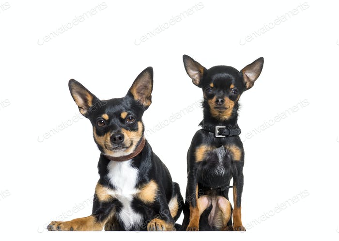 Two Pinscher dogs sitting, cut out