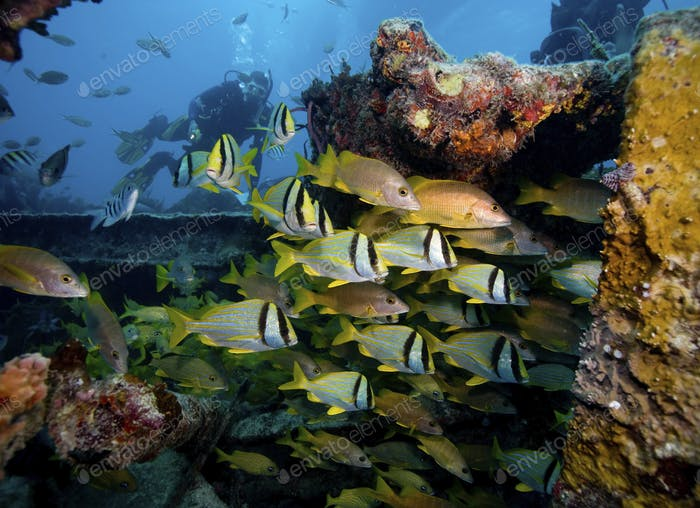 Porkfish (Anisotremus virginicus) and Schoolmaster snapper (Lutjanus apodus) school swimming around