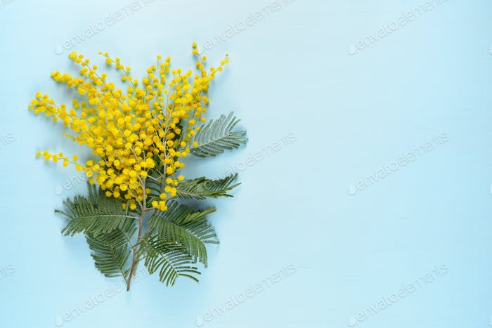 Mimosa flowers on blue background