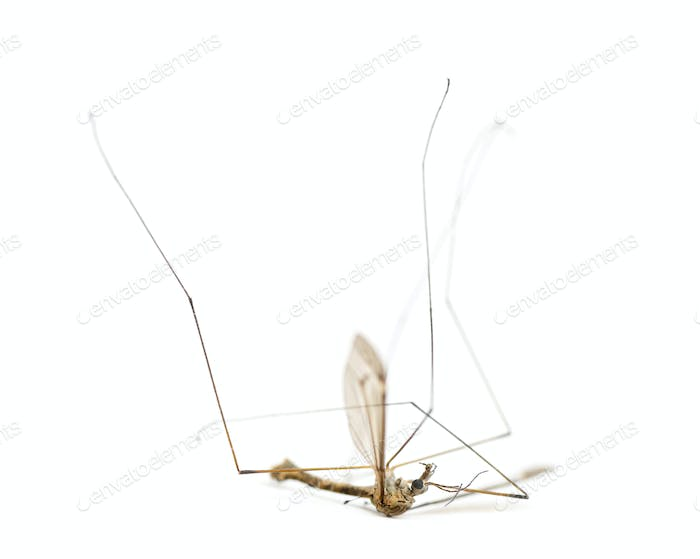 Dead Crane fly lying on its back, Tipula, isolated on white