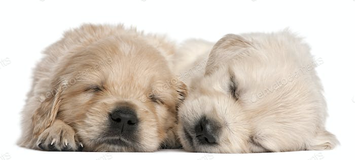 Golden Retriever puppies, 4 weeks old, asleep in front of white background