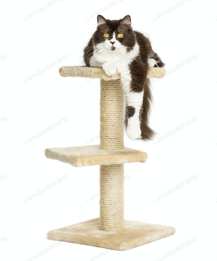 Front view of a British longhair lying on top of a cat tree, isolated on white