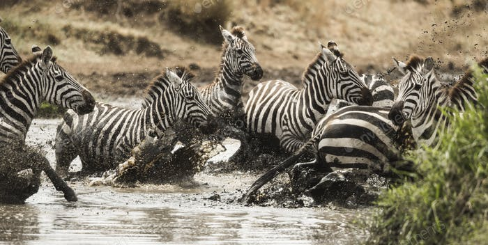 Zebras galloping in a river, Serengeti, Tanzania, Africa