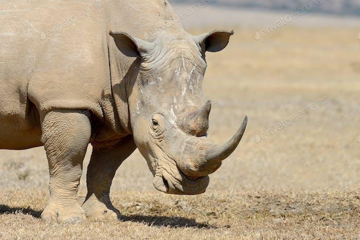 Afrikanisches weißes Nashorn