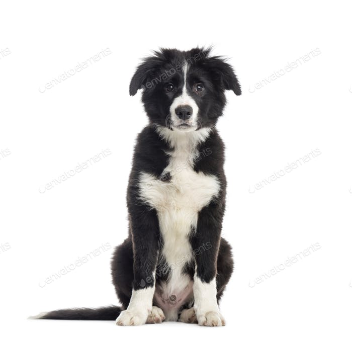 Young Black and white Border collie Dog sitting in front of the camera, cut out