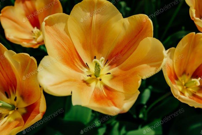 Blumenfeld mit bunten Tulpen.