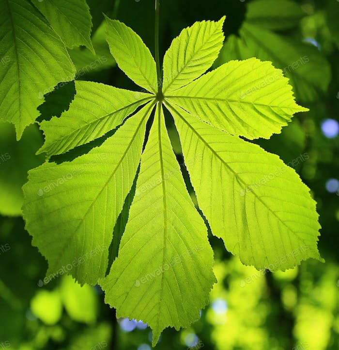 Chestnut green leaf