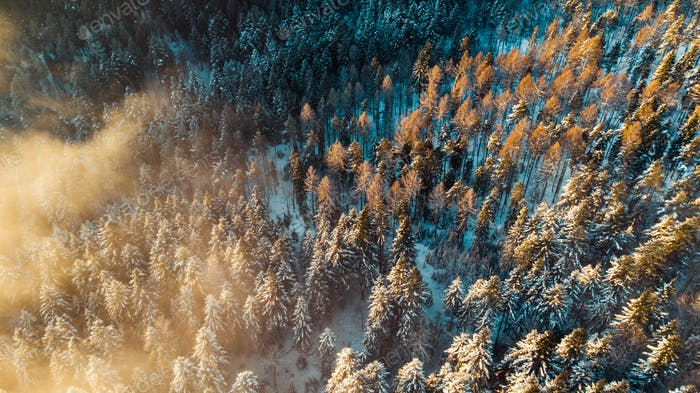 Foggy Morning at Cold Winter. Snowy Pine Trees in Woodland. Aerial View