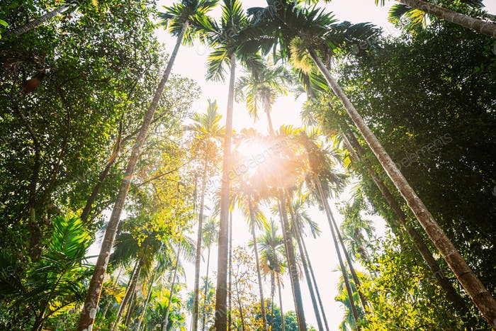 Goa, India. Sunny Canopy Of Palm Trees. Upper Branches Of Woods In Jungle Forest. Low Angle View