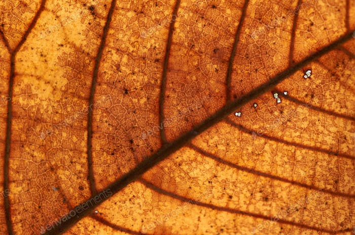 Texture of dry leaf in autumn