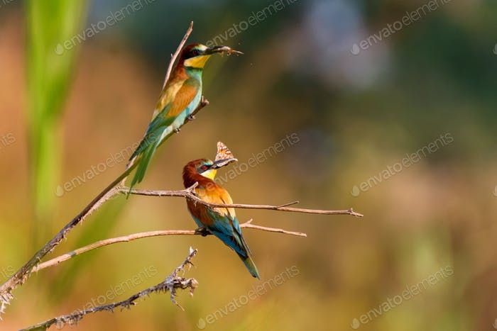 Several Kingfisher birds or Alcedo atthis perch on branch with insects in beaks