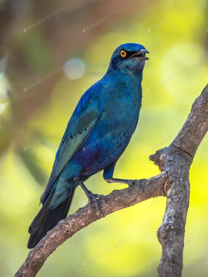 Greater blue eared Starling