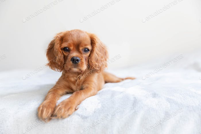 Cavalier spaniel puppy on the bed