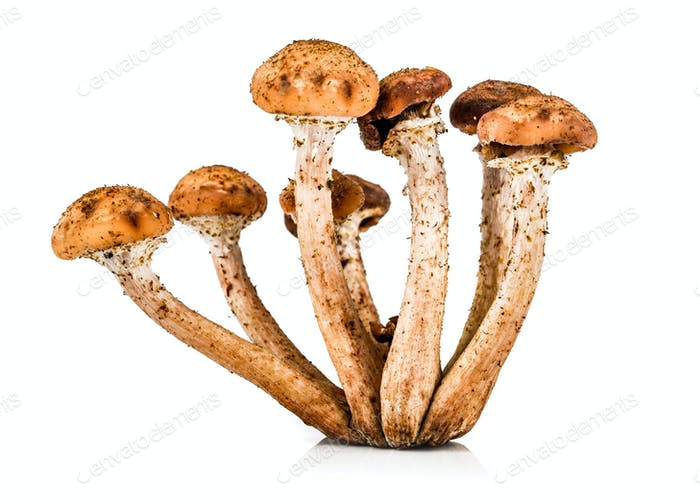 Mushroom a honey agaric