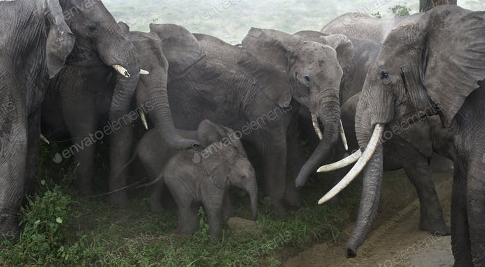 Baby elephants protected by adults in Serengeti National Park, Tanzania, Africa