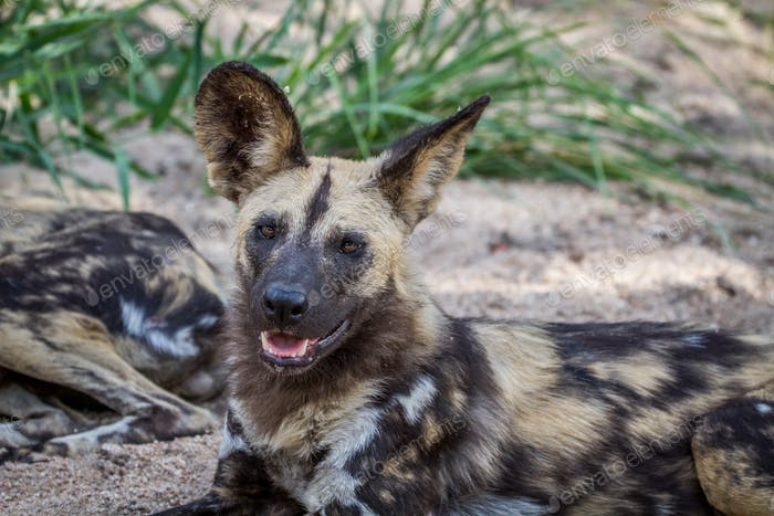 African wild dog laying down in the sand.