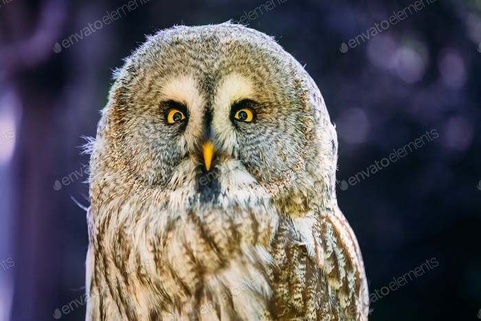 Close Up Head, Face Of Great Grey Owl Or Great Gray Owl. Strix N