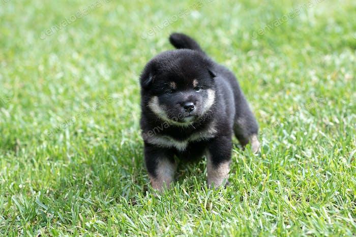 Cute tan shiba inu puppy dog on grass