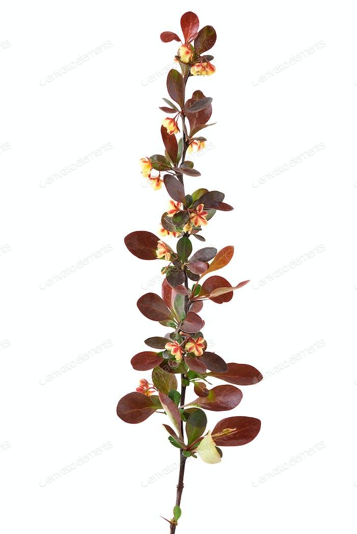 Blooming berberis vulgaris branch