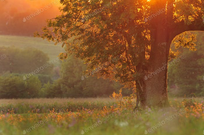 Nature background - tree at sunset