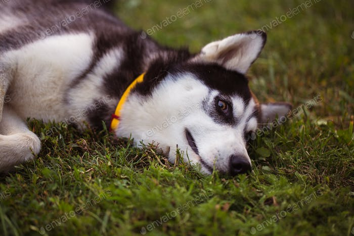 Siberian Husky. The Siberian Husky rests on the grass.