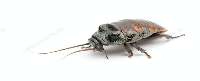 Madagascar Hissing Cockroach, Gromphadorhina portentosa,  also known as the Hissing Cockroach