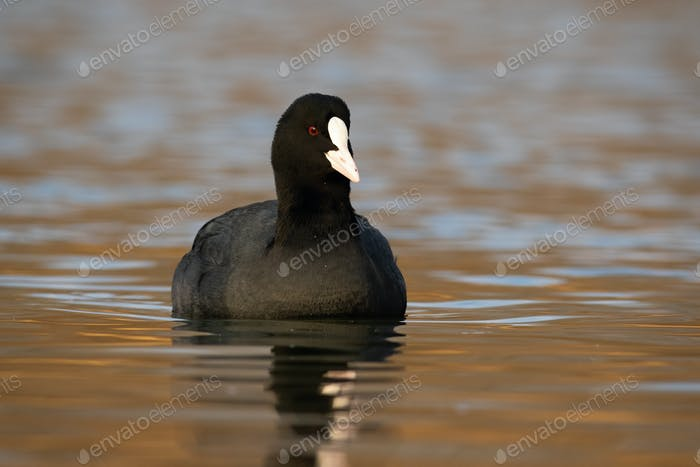 Eurasian coot floating on water in autumn nature
