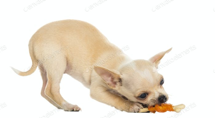 Chihuahua puppy eating a bone, bottom up, isolated on white