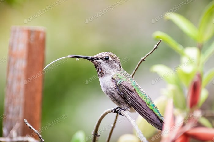 Anna's Hummingbird perched on a plant, flicking its long tongue; San Francisco bay area, California