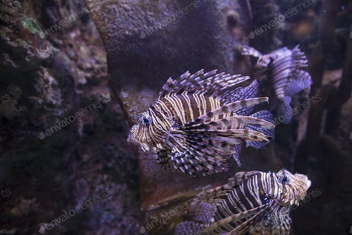 Lionfish swimming on wreck