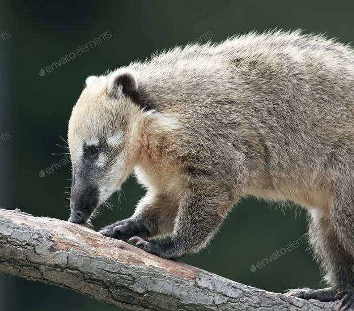 Close-up portrait of a very cute White-nosed Coati (Nasua narica