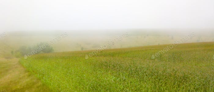 Panoramic view of a cornfield on a foggy morning. Photo from the drone