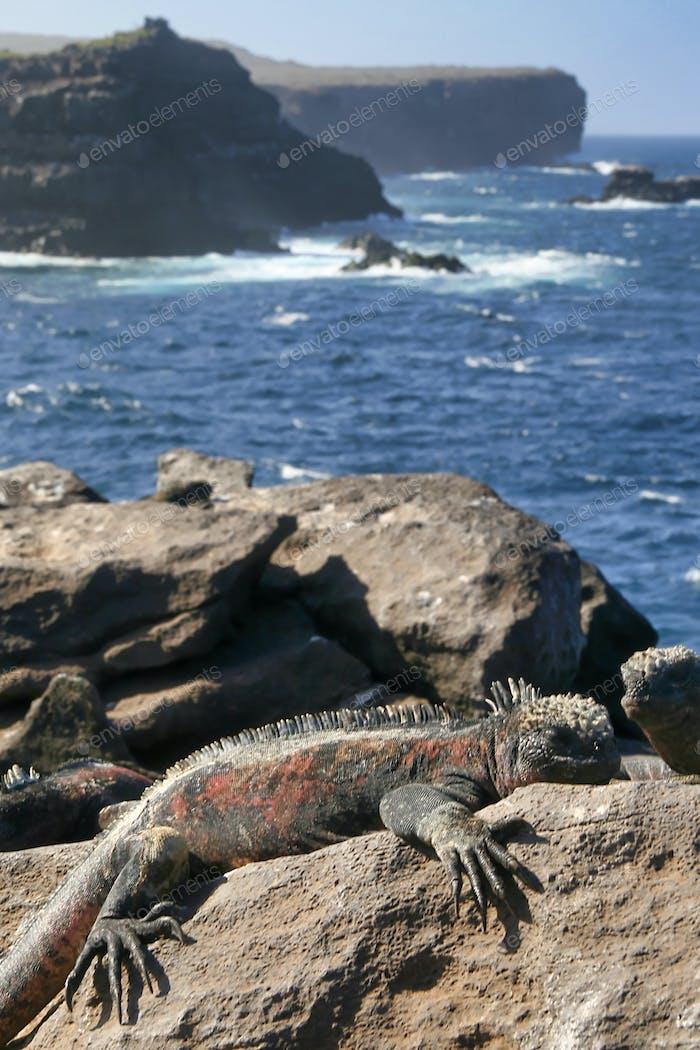 Marine Iguana, Galapagos National Park, Ecuador