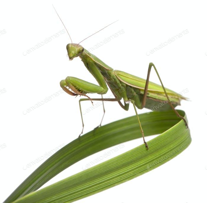 Female European Mantis or Praying Mantis, Mantis religiosa on grass, in front of white background
