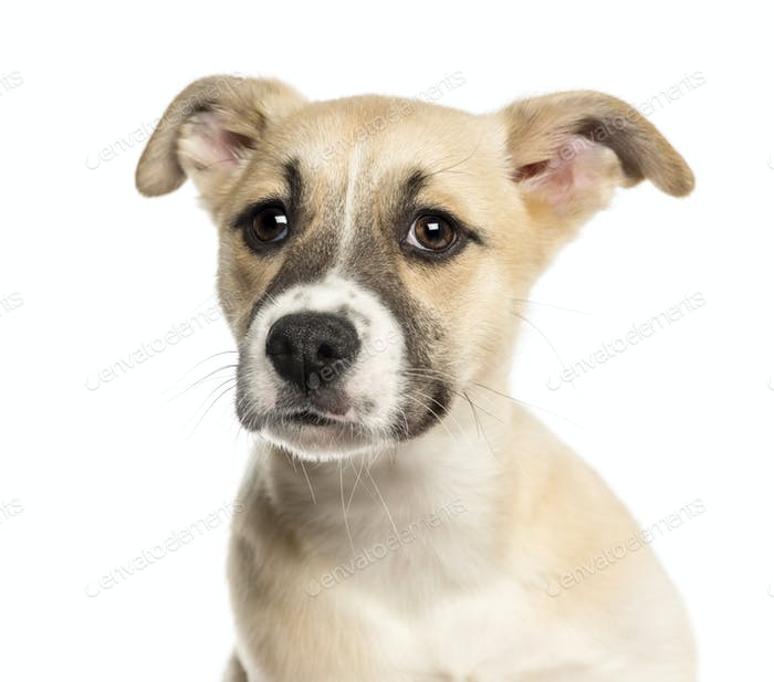 close up of a husky boxer mixed breed puppy 3 months old isolated