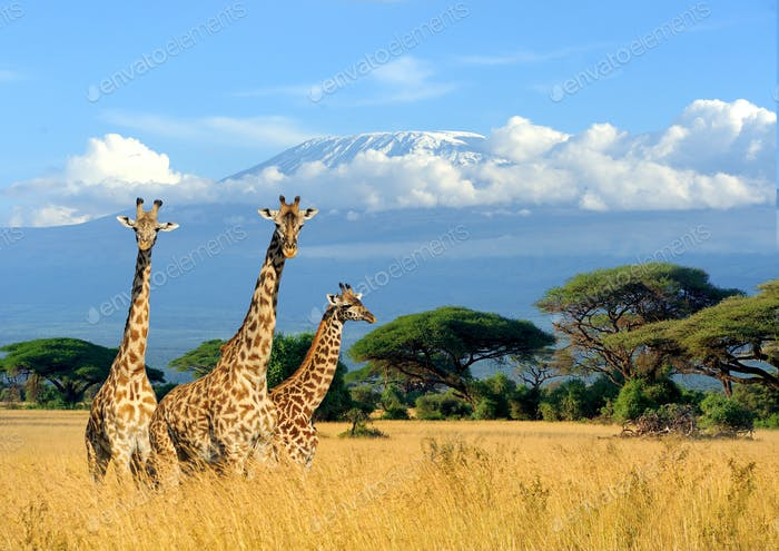 Three giraffe on Kilimanjaro mount background in National park o
