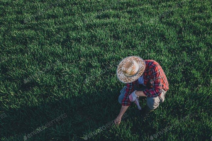 Weizenbauern analysiert die Pflanzenentwicklung