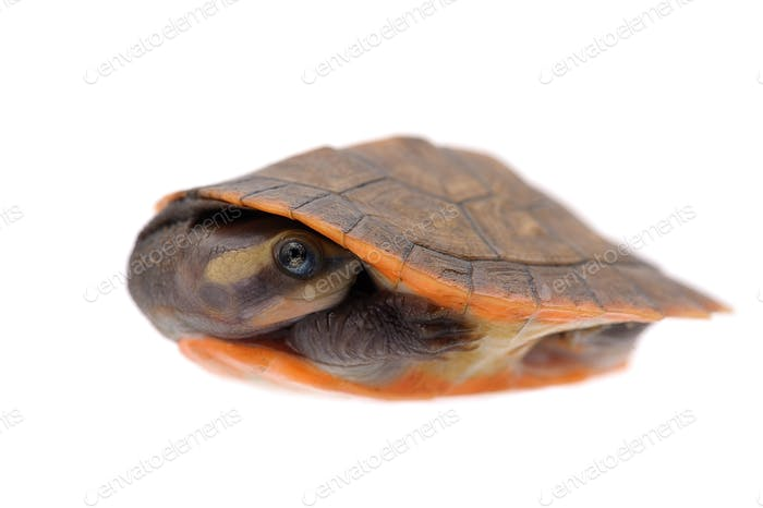 Tortoise isolated on white background