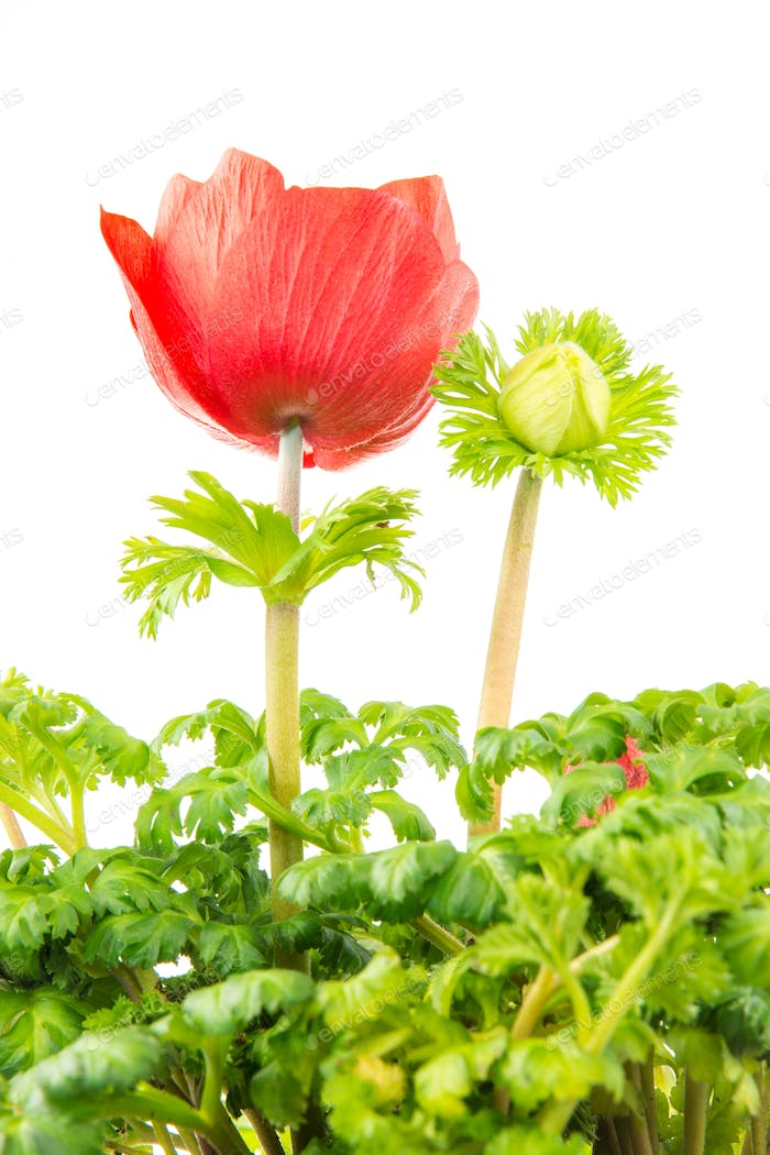Isolated red Anemone flower blossom
