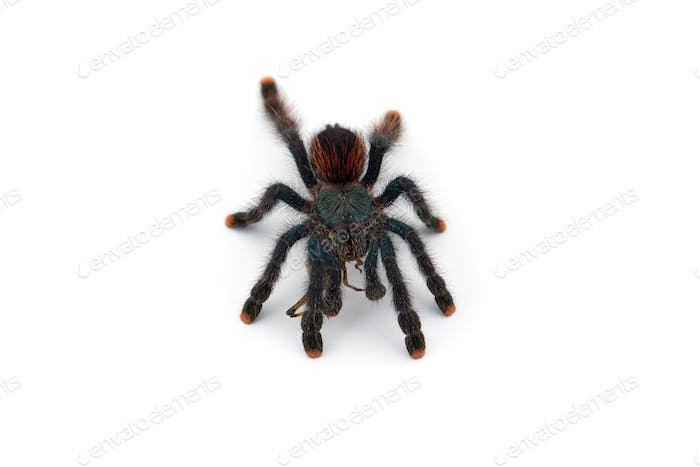 The Antilles pinktoe tarantula isolated on white background