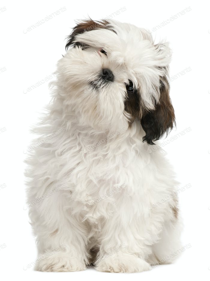 Shih Tzu puppy, 3 months old, sitting in front of white background