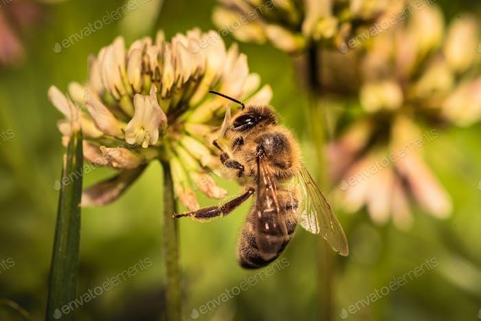 Honey Bee in collecting pollen