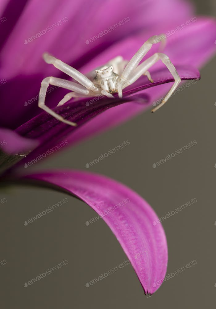 Crab spider hunting for insects.