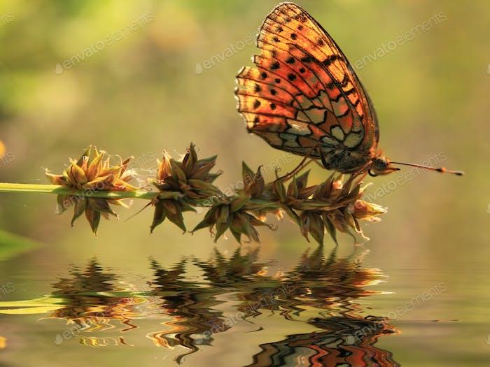 Reflektion ein schöner Schmetterling auf einer Blume