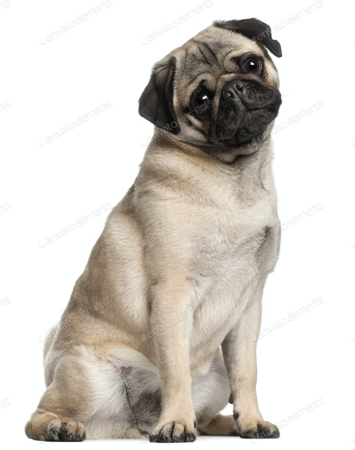 Pug, 8 months old, sitting in front of white background
