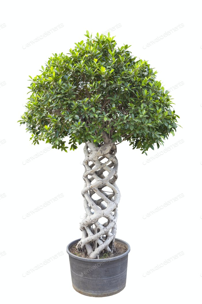 banyan tree bonsai