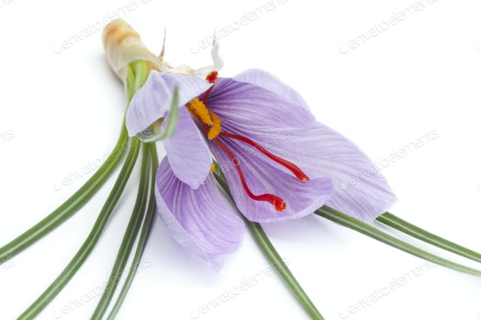 Crocus sativa flower close up