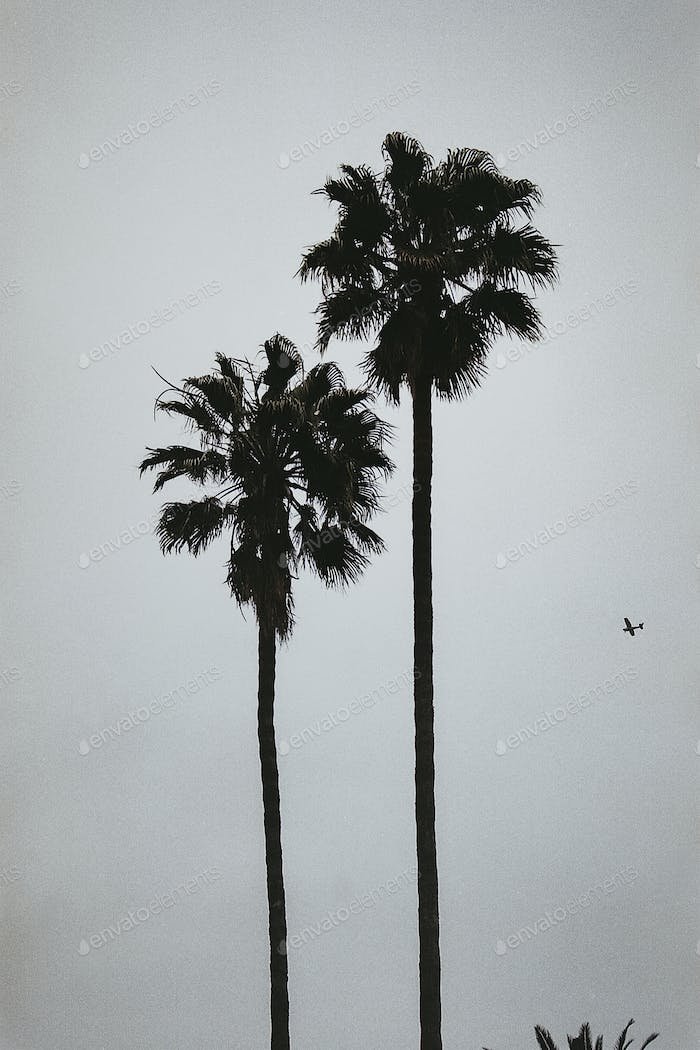 Two tall palm trees silhouette