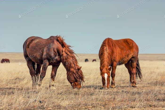Wild horses in prairie
